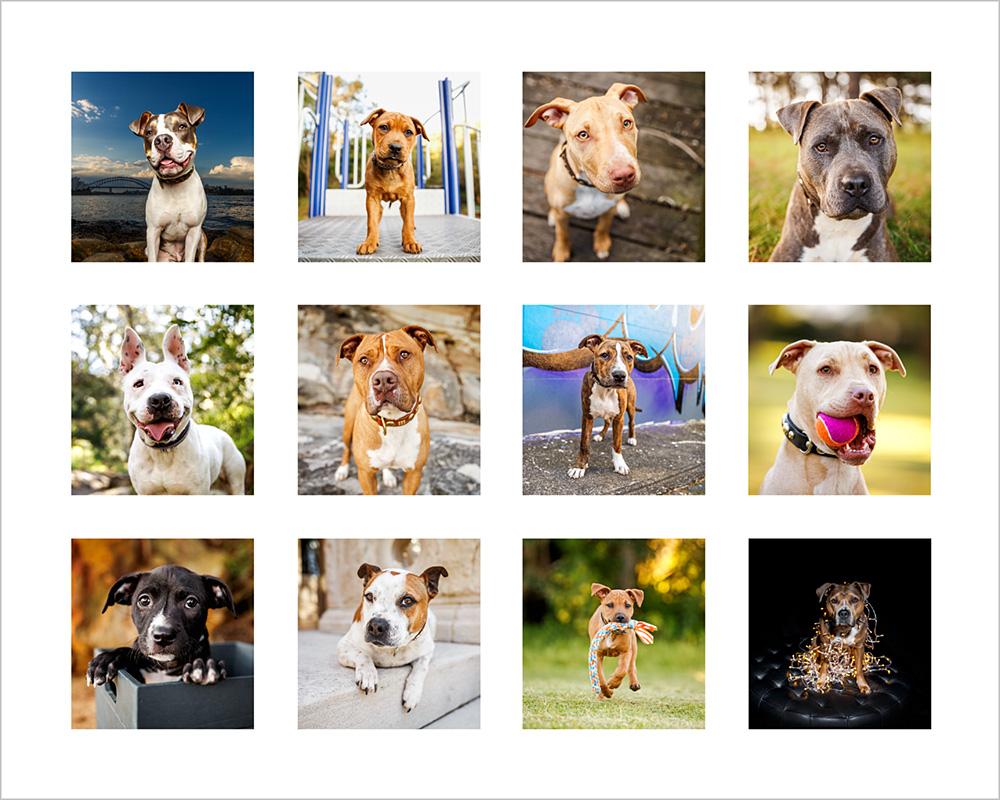 2017 pitbull calendar