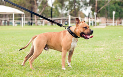 Amstaff Specialty – Apr 2010 | Sydney Dog Photographer