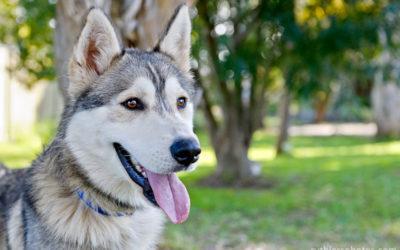 Arctic Breed Rescue | Sydney Dog Photographer