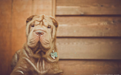 Wrinkles and frinkles | Sydney Dog Photographer
