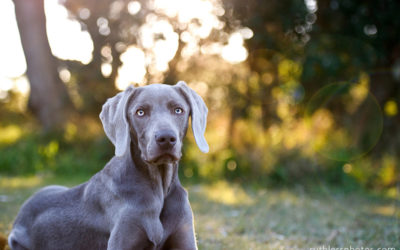 Jack the Weimaraner | Sydney Dog Photographer