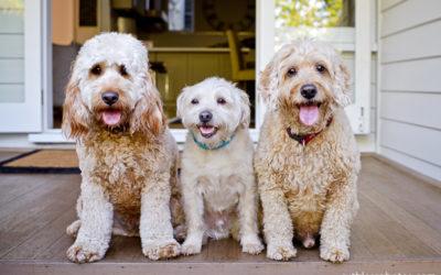 Jack, Alfie and Milo   Sydney Dog Photographer