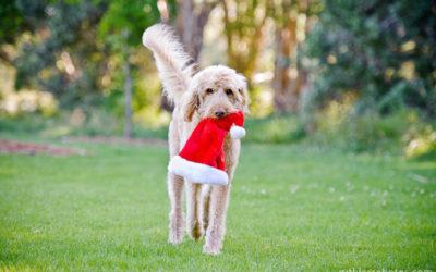 Festive Basil | Sydney Dog Photographer