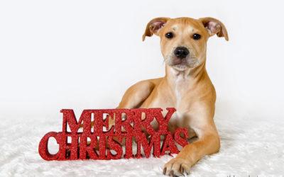 A very fetching Christmas   Sydney Dog Photographer