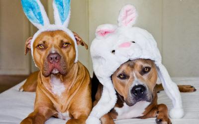Easter Bullies   Sydney Dog Photographer