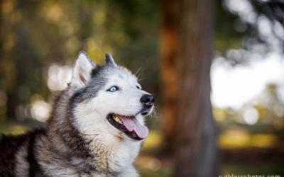 Kara the Husky | Sydney Dog Photographer