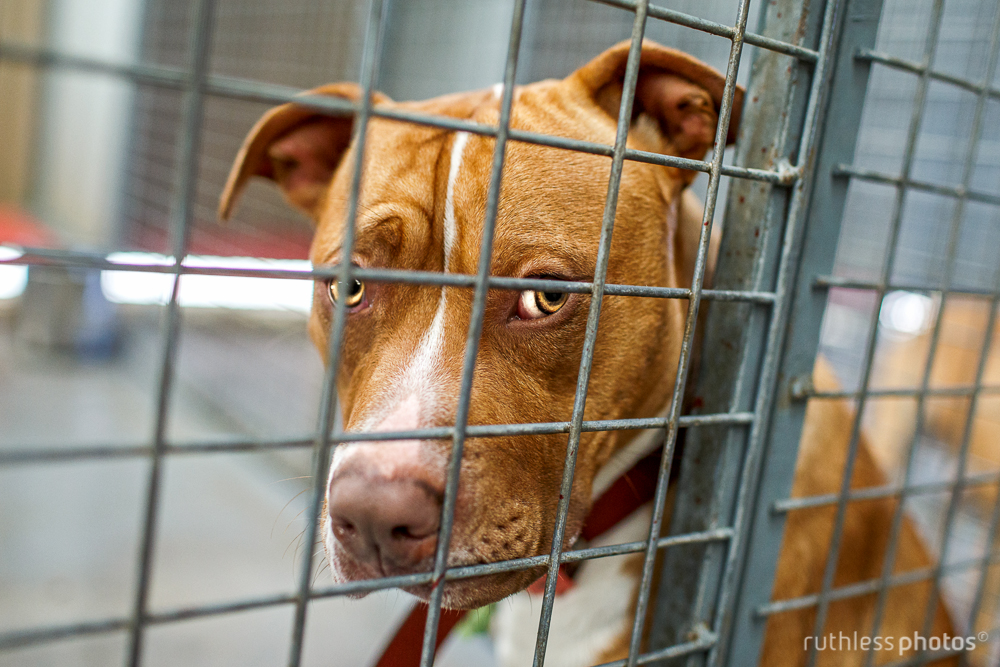 pit bull behind bars at shelter