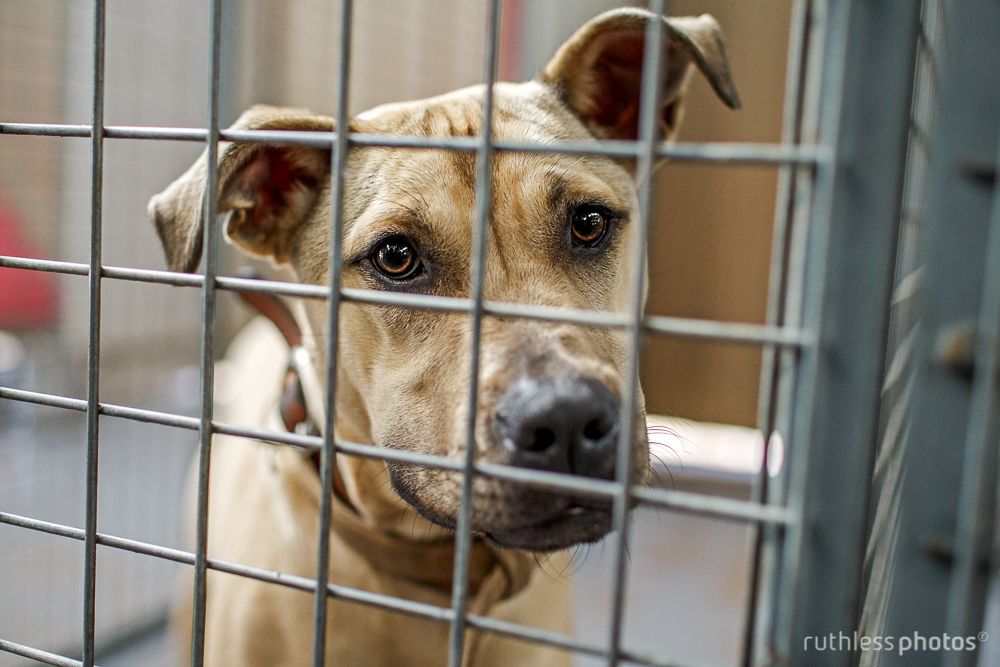 pit mix behind bars at shelter