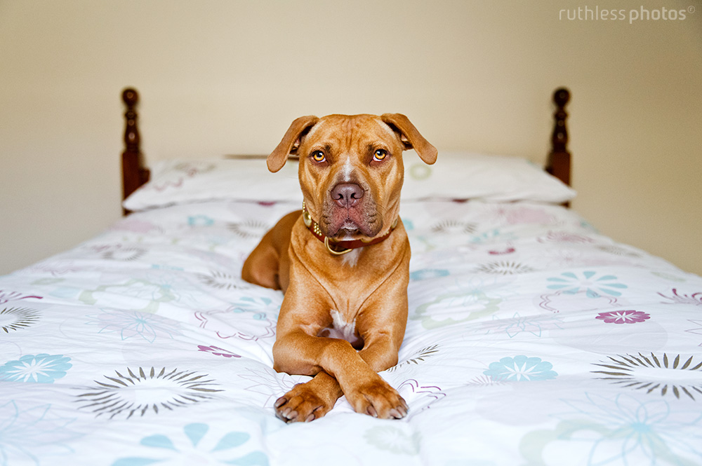 red nose pit bull type dog lying on bed with paws crossed