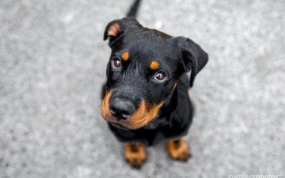 Jax the Rottie | Sydney Puppy Photographer