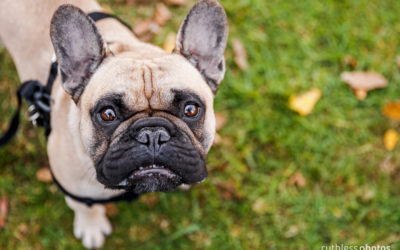 Frenchie Fun Day | Sydney Dog Photographer
