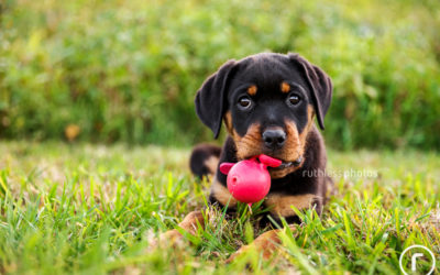 Jet the Rottweiler puppy | Sydney Pet Photography