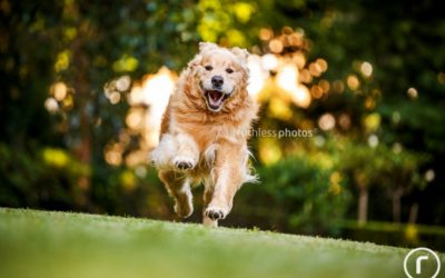 Buster the Golden Retriever | Sydney Dog Photographer