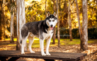 Rogue the Husky | Sydney Pet Photographer