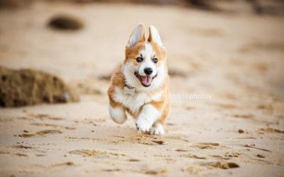 Hashbrown the Corgi | Sydney Puppy Photos