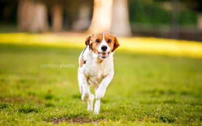 Ava the Beagle mix | Sydney Dog Photographer