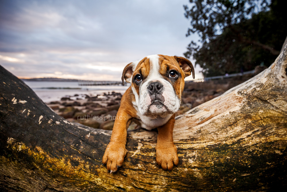 red and white australian aussie bulldog puppy leaning on driftwood log at Bundeena Beach in Sydney