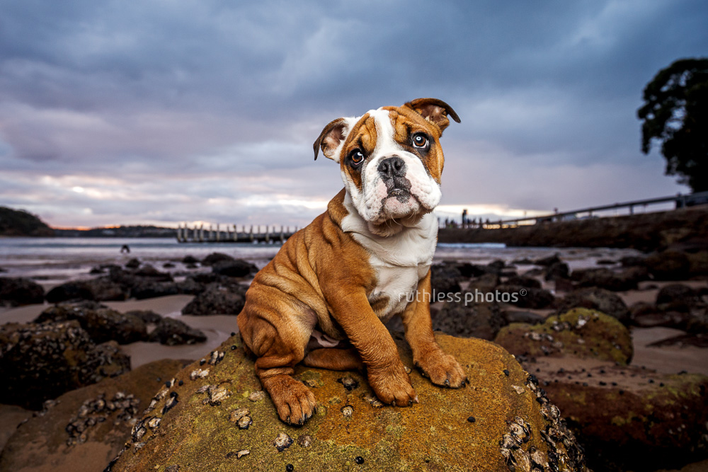 cute bulldog puppy sitting on rock at sunset with lots of wrinkles
