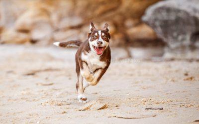 Rufus the Koolie | Puppy Photos Sydney