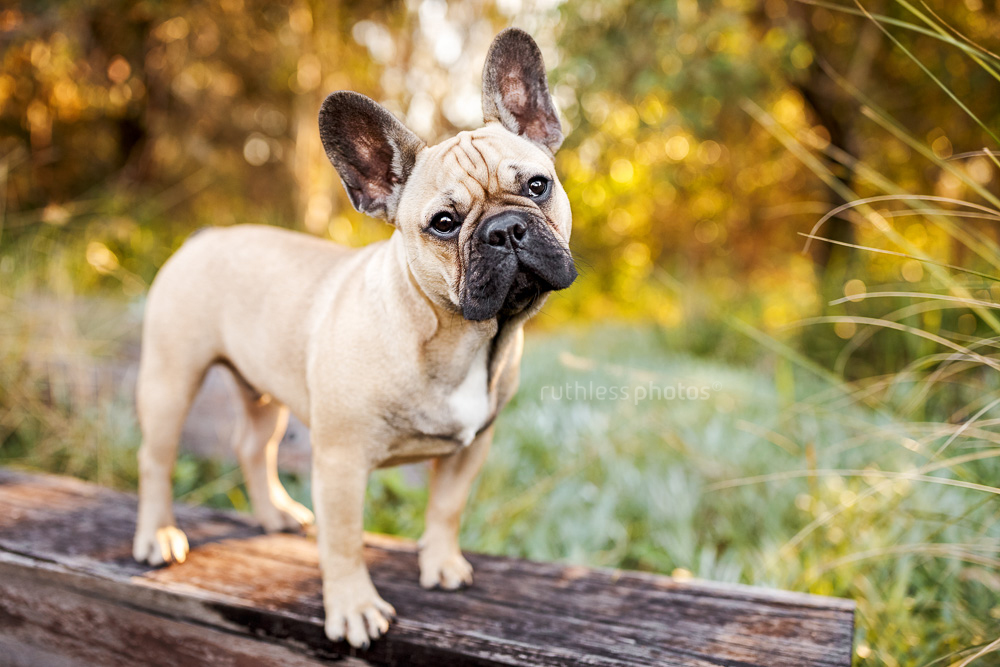 fawn french bulldog standing on wooden beam at park with bokeh and head tilt