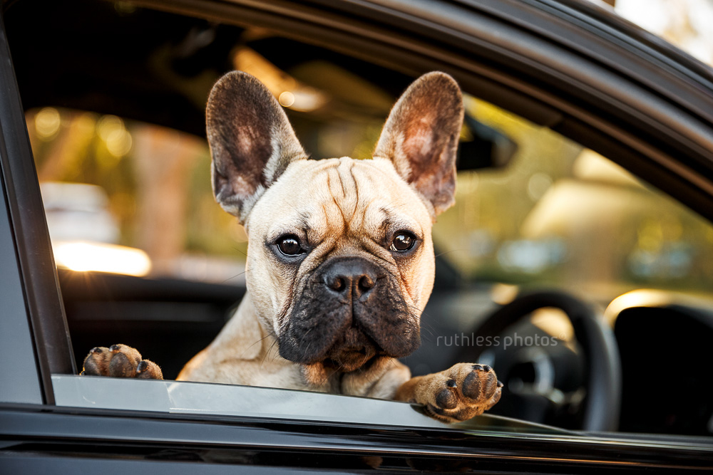 fawn french bulldog in drivers seat of black car at the wheel