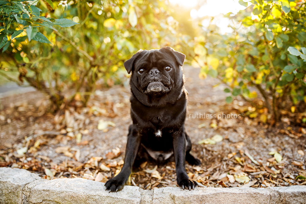 black pug dog sitting in bushes with sun behind him