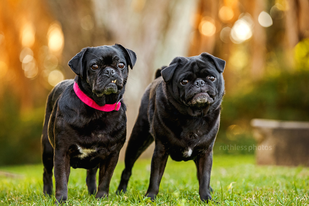 two black pugs making funny faces