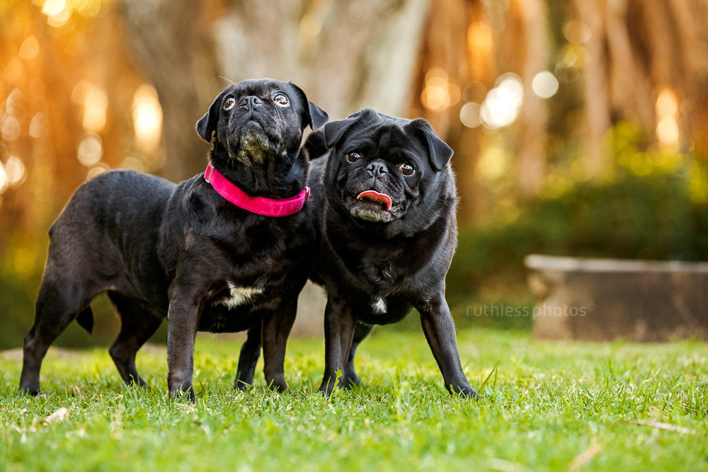 two black pugs with whacky expressions