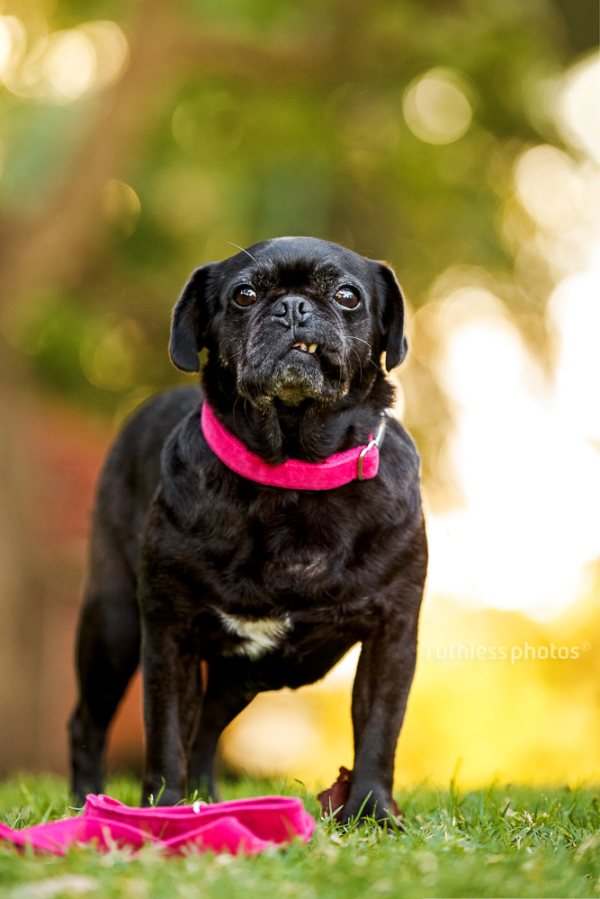 black pug dog standing in park with pink collar and lead