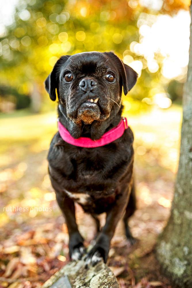 black pug standing under tree in park with snaggletooth