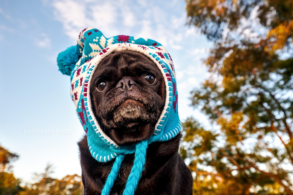 black pug wearing blue winter hat