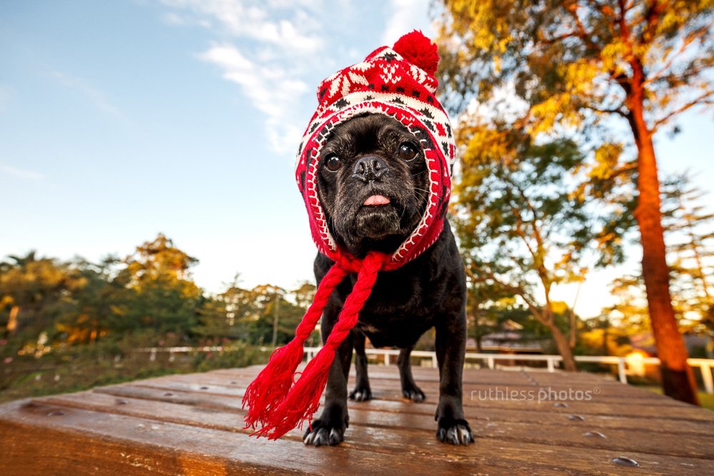 black pug wearing red winter hat sticking out tongue