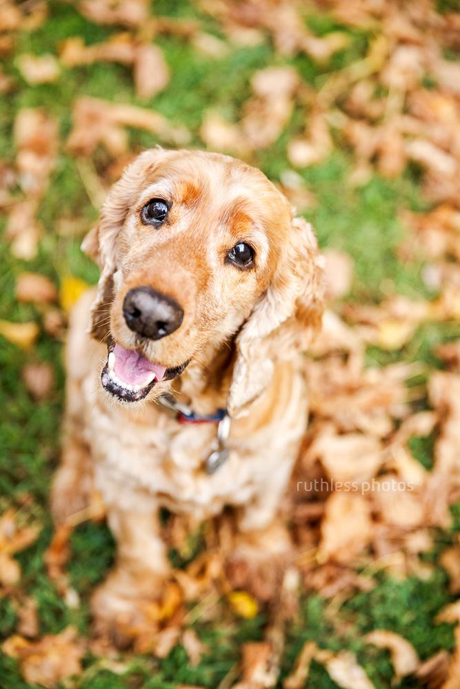 golden cocker spaniel dog sitting in autumn leaves smiling with head tilt