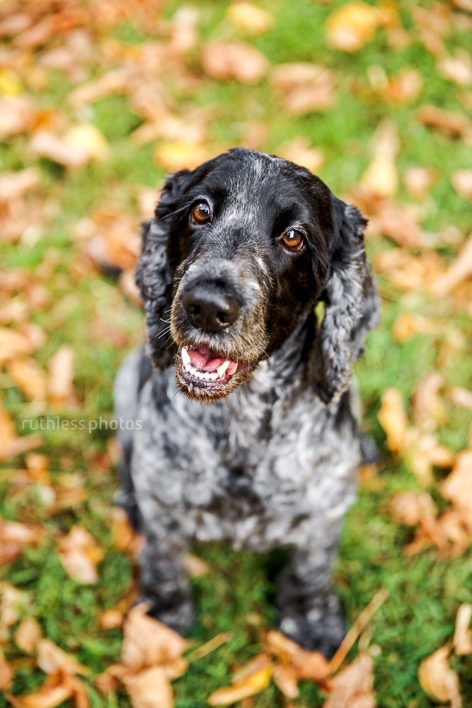 black and white cocker spaniel dog sitting in autumn leaves smiling