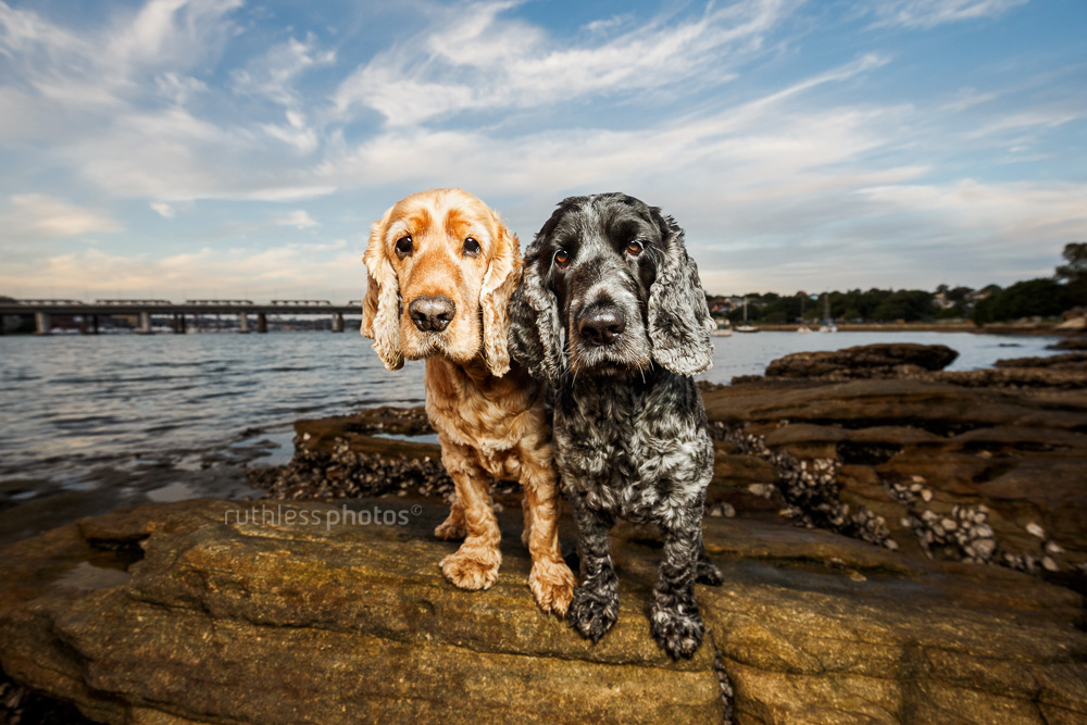 two cocker spaniels standing on rocks with big sky