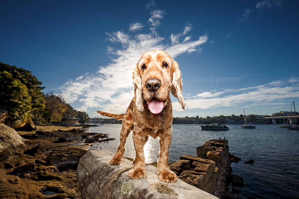 golden cocker spaniel dog standing on wall against blue sky