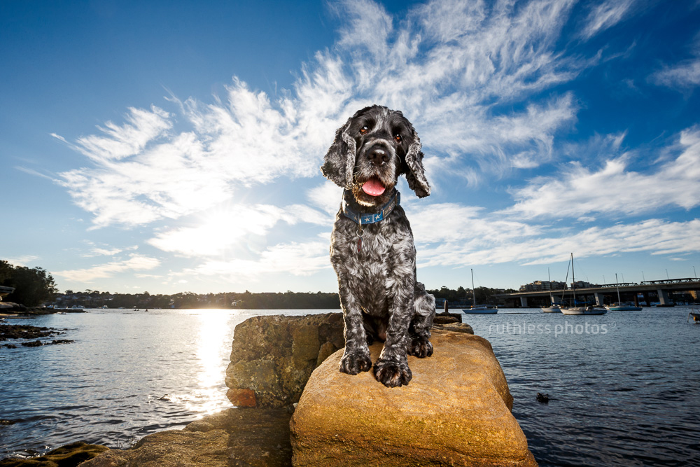 black and white cocker spaniel dog sitting on wall against blue sky