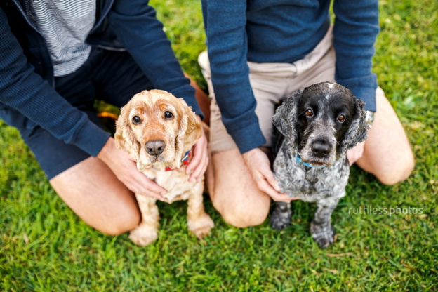 two cocker spaniels sitting between owner's legs at park