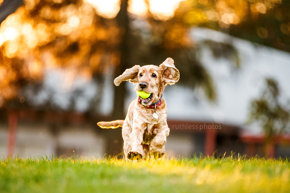 golden cocker spaniel dog running in park at sunset with ball in mouth