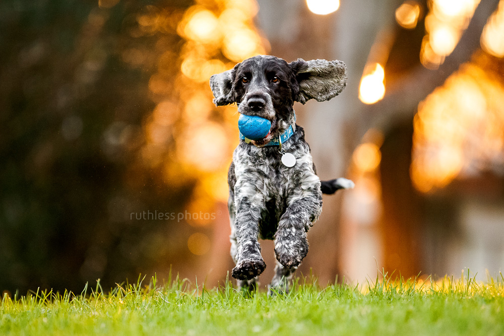 black and white cocker spaniel dog running in park at sunset with ball in mouth