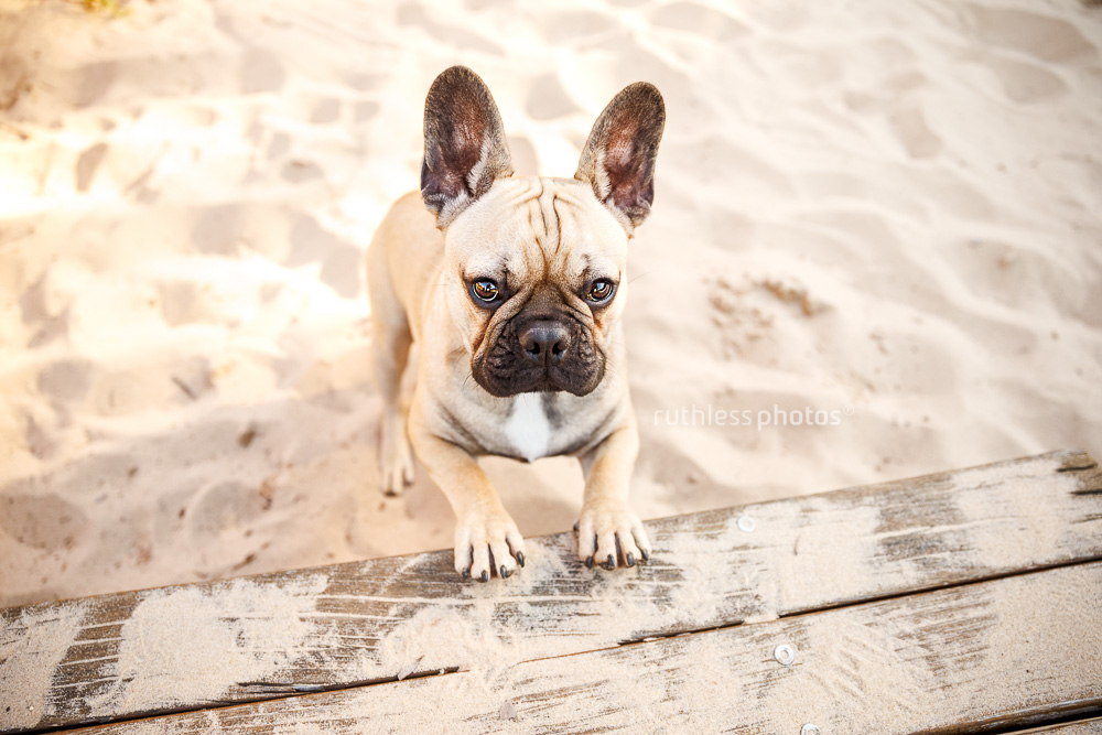 fawn french bulldog puppy play bow on sand