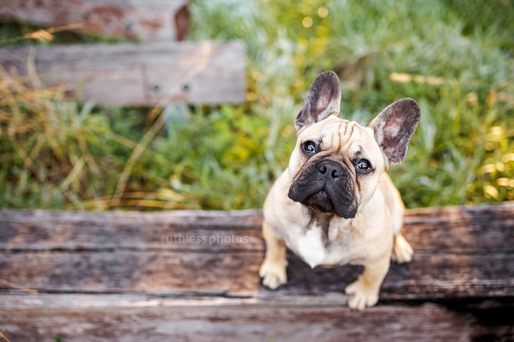 looking down on fawn frenchie pup sitting on wooden sleeper