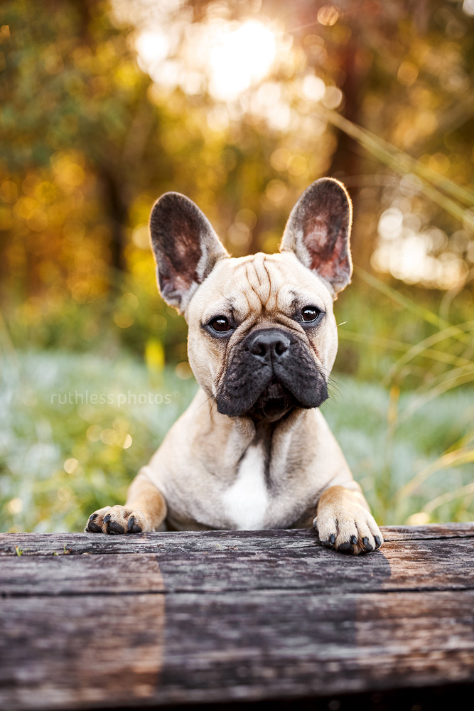 fawn french bulldog standing with front feet on wooden sleeper looking like a bartender