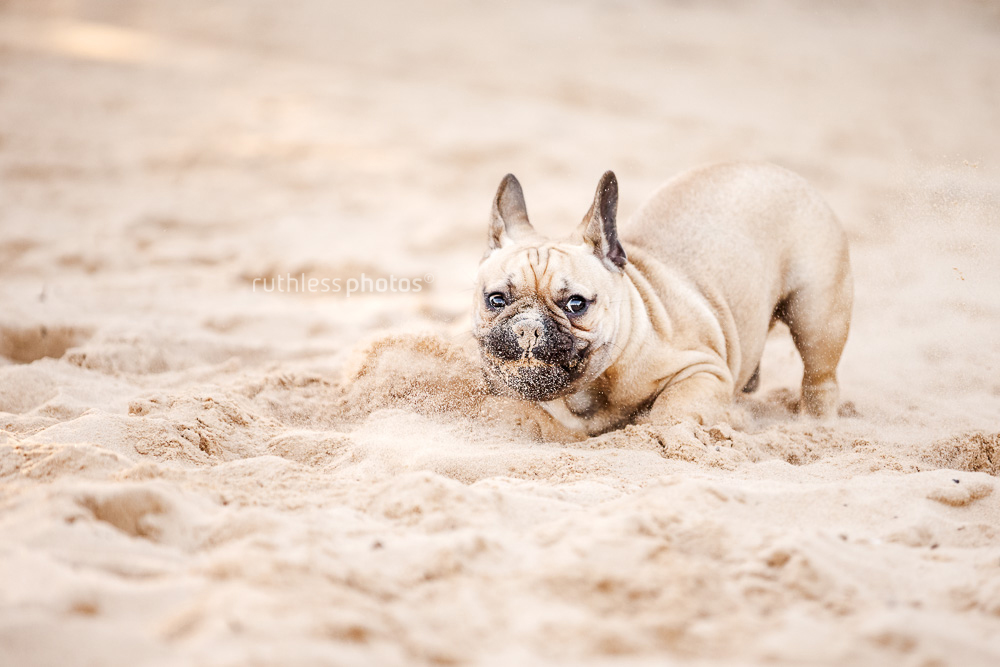 fawn french bulldog doing crazy zoomies in the sand