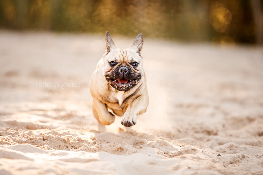 happy smiling french bulldog running towards camera on sand backlit