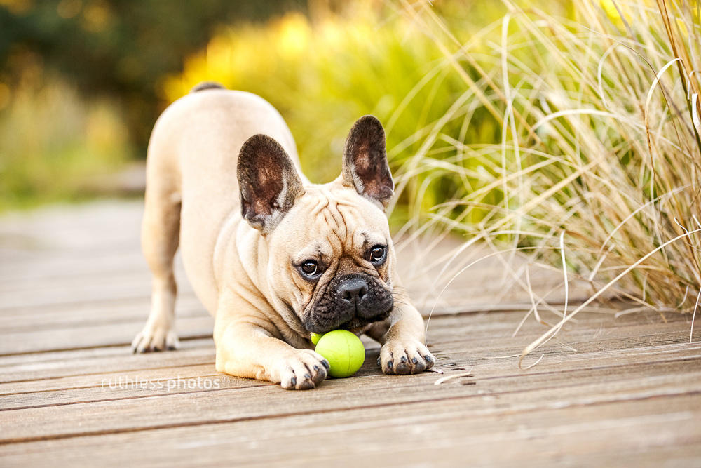 cute frenchie dog doing play bow with green ball between feet