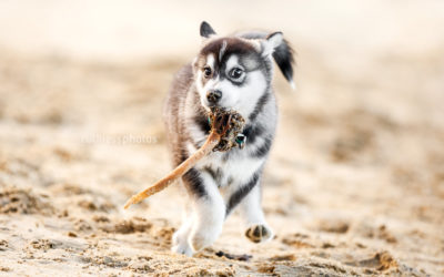 Louis the arctic mix puppy – Northern Beaches Photography