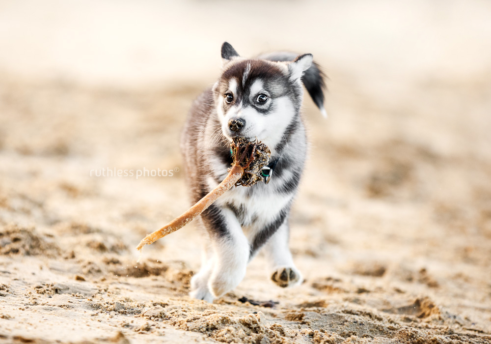 malamute mix louis the wolf puppy running on the beach with seaweed in mouth