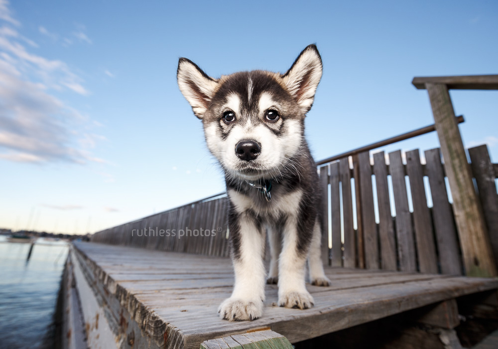 husky samoyed mix puppy standing on wooden dock at sunset