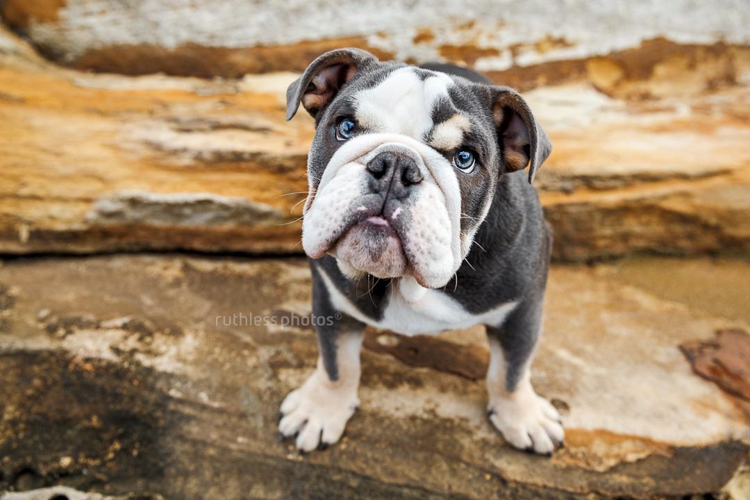 tricolour exotic british bulldog puppy standing on rocks